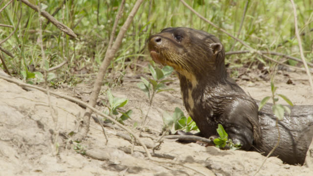 giant river otter pup (pteronura brasiliensis) calls for mother as it emerges from river to lie down on river bank. - otter stock videos & royalty-free footage