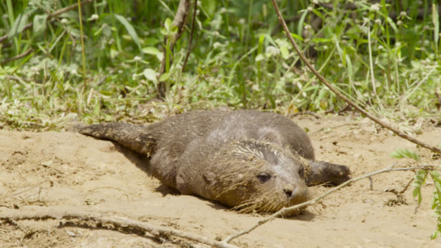giant river otter pup (pteronura brasiliensis) rolls around in sand to dry off. - rolling stock videos & royalty-free footage