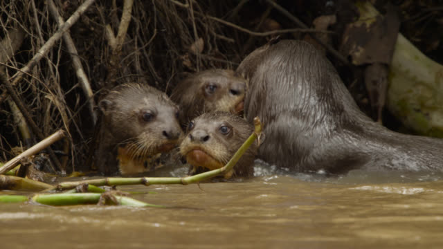 Giant river otter pups (Pteronura brasiliensis) nuzzled by adult in river.