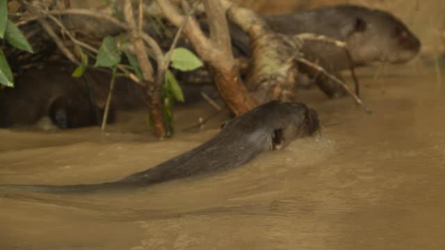 vidéos et rushes de giant river otter (pteronura brasiliensis) swims in muddy water. - remonter à la surface