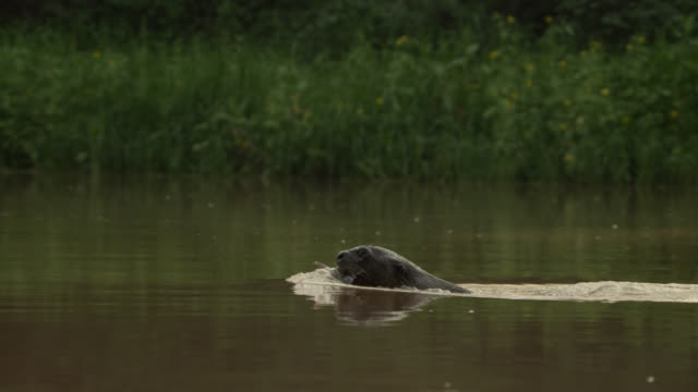 giant river otter (pteronura brasiliensis) swims with fish in its mouth. - otter stock-videos und b-roll-filmmaterial