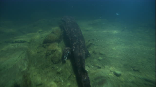a giant salamander ambles along a sun-dappled riverbed. available in hd. - salamander stock videos and b-roll footage