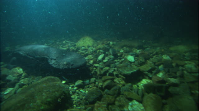a giant salamander crawls over a riverbed. available in hd. - salamander stock videos and b-roll footage