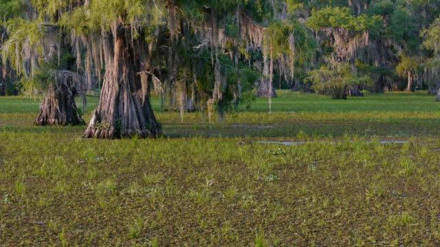 Giant salvinia invasive species covering lake, PAN L, Caddo Lake, on the Texas/Louisiana border