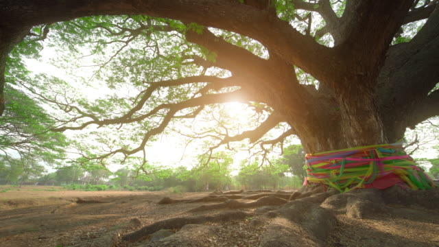 vídeos y material grabado en eventos de stock de saman samanea o albizia gigante en kanchanaburi tailandia - raíz