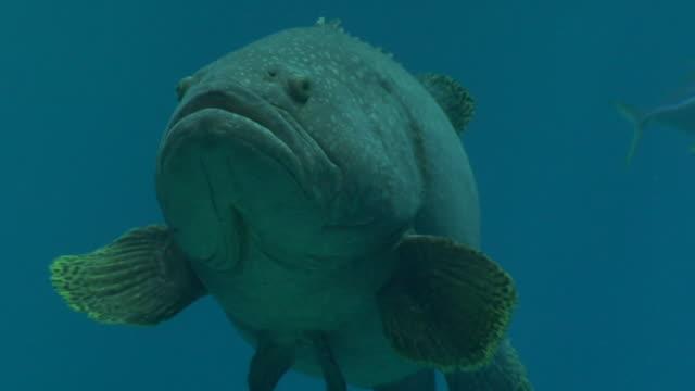CU, Giant sea bass (Stereolepis gigas) swimming underwater, Georgia, Atlanta, USA