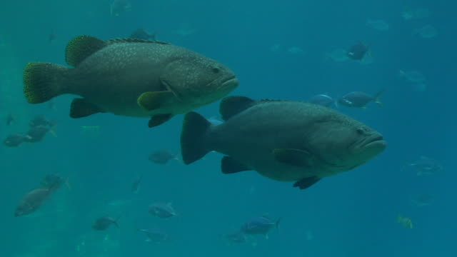 MS, Giant sea bass (Stereolepis gigas) swimming underwater, Georgia, Atlanta, USA