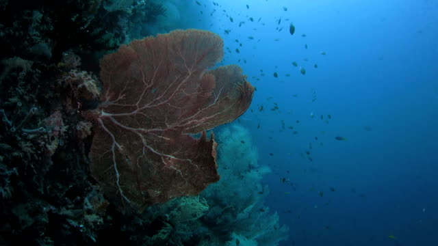 giant sea fan coral (gorgonian) found in raja ampat, indonesia - gorgonian coral stock videos & royalty-free footage