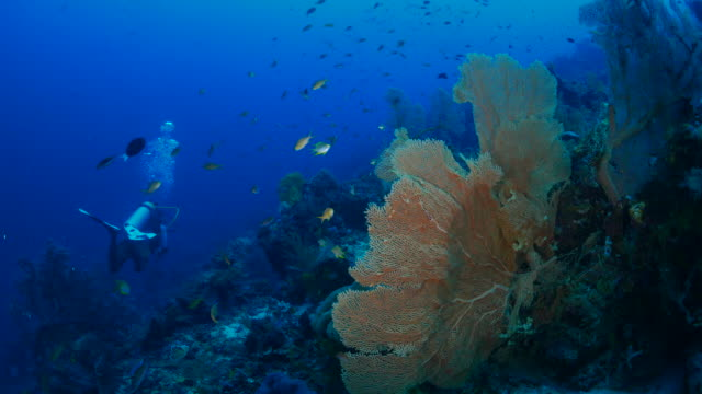giant sea fan coral (gorgonian) undersea - gorgonian coral stock videos & royalty-free footage