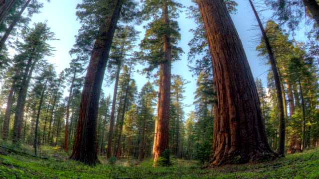 giant sequoia forrest - giant sequoia stock videos and b-roll footage