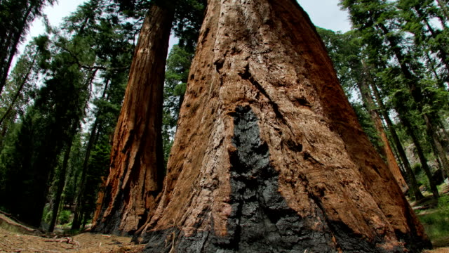 giant sequoia pines - giant sequoia stock videos and b-roll footage