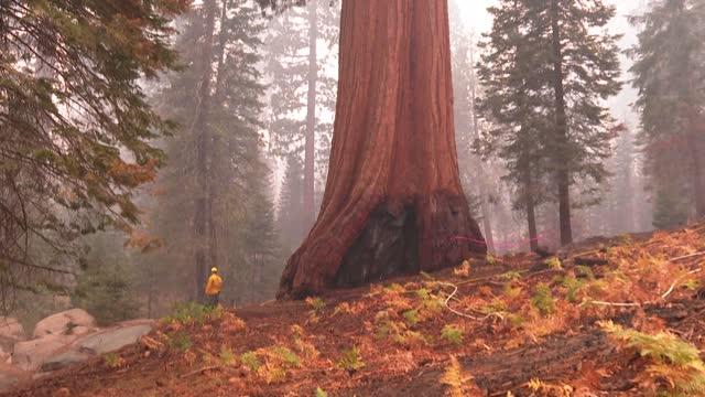stockvideo's en b-roll-footage met giant sequoia trees resist the flames of the windy fire incident as californian firefighters continue to battle against the latest wildfire burning... - sequoiafamilie