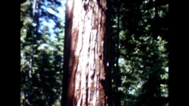 1955 giant sequoia trees - giant sequoia stock videos and b-roll footage