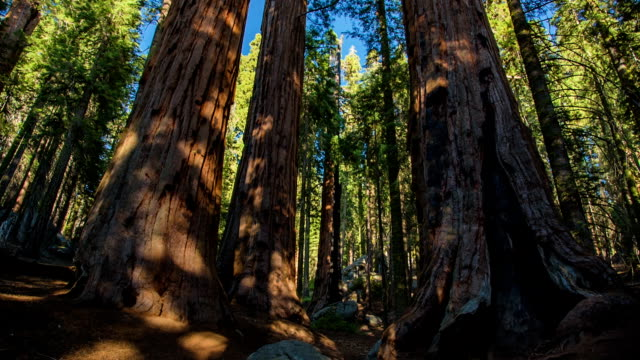 giant sequoia trees - tall high stock videos & royalty-free footage