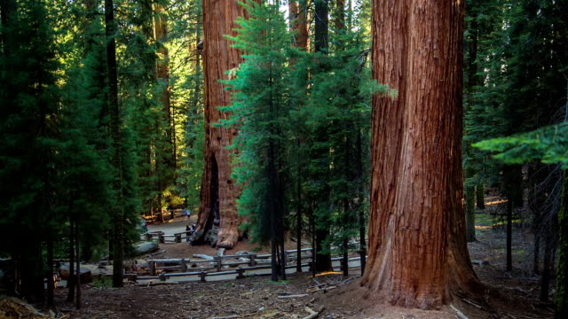 giant sequoia trees - giant sequoia stock videos and b-roll footage