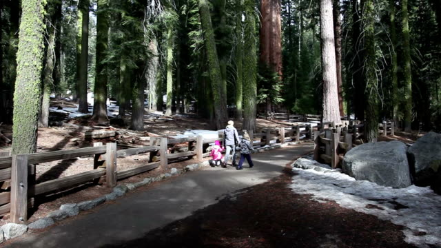 giant sequoias - giant sequoia stock videos and b-roll footage