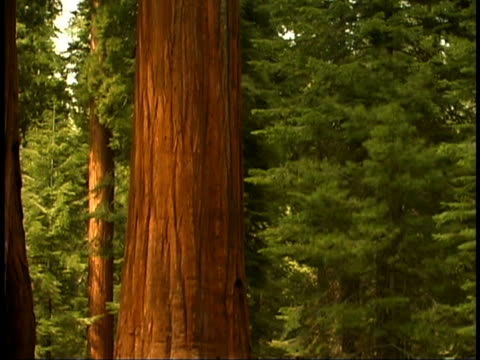 giant sequoias - sparklondon stock videos and b-roll footage