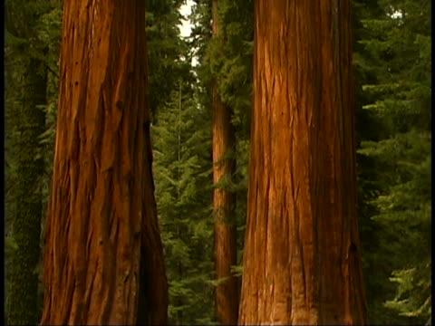vidéos et rushes de giant sequoias - séquoia géant