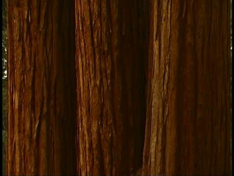 vídeos y material grabado en eventos de stock de giant sequoias - parque nacional de secoya
