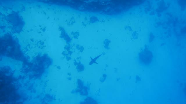 vídeos de stock, filmes e b-roll de tubarão gigante cruzeiro em alto mar - deep sea diving
