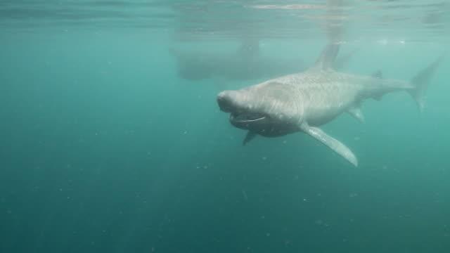 vídeos y material grabado en eventos de stock de tiburón gigante - peregrino