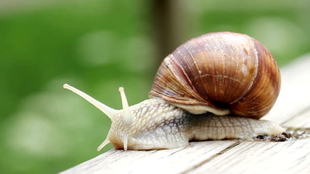 giant snail macro - helix pomatia - snail stock videos & royalty-free footage