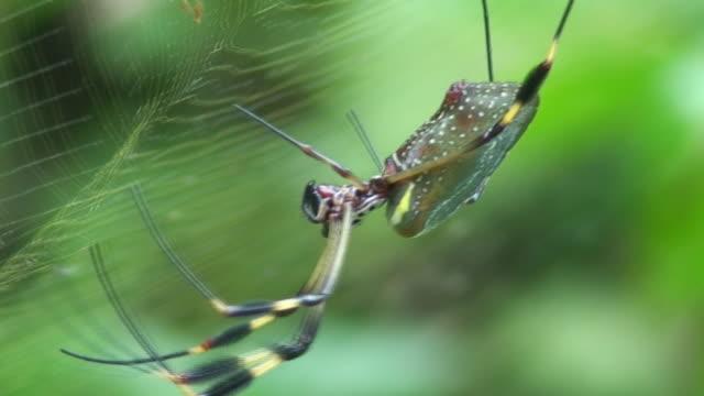 vídeos de stock e filmes b-roll de aranha-gigante - invertebrado