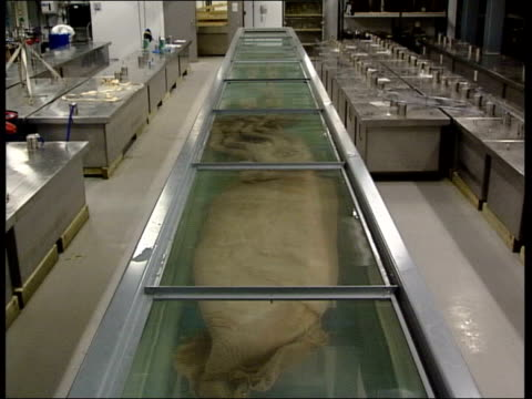 giant squid goes on display in natural history museum museum staff wearing gas masks removing panels from top of display case squid in display case... - tentacle stock videos & royalty-free footage