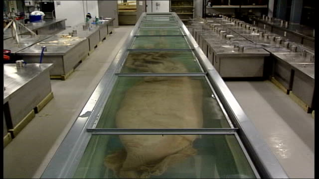 Giant squid goes on display in Natural History Museum Museum staff wearing gas masks removing panels from top of display case Squid in display case...