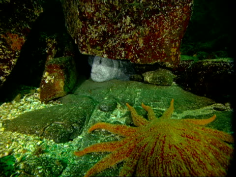 A giant starfish moves over the ocean floor toward a wolf eel hiding under a rock.