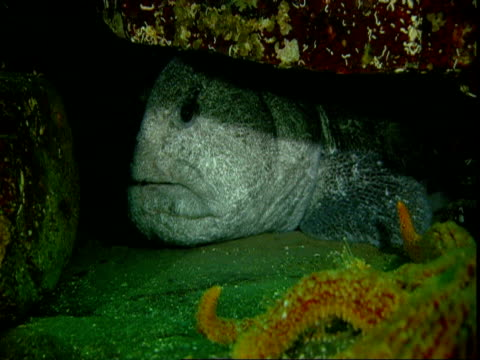 A giant starfish moves toward a wolf eel hiding under a rock.