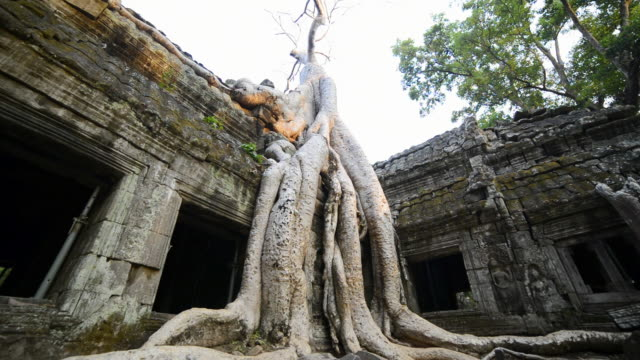 ms giant strangler fig tree roots at ta prohm temple / angkor wat, siem reap, cambodia - root stock videos & royalty-free footage