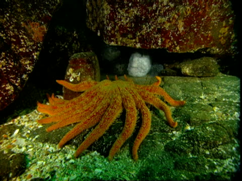 A giant sunflower seastar moves over a rock toward a wolf eel hiding in a cave.