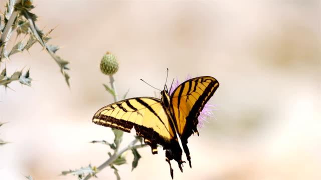 Riesige Schwalbenschwanz Schmetterlinge im Guadalupe Mountains Nationalpark