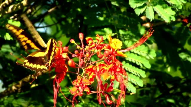vidéos et rushes de machaon géant - des papillons dans le ventre