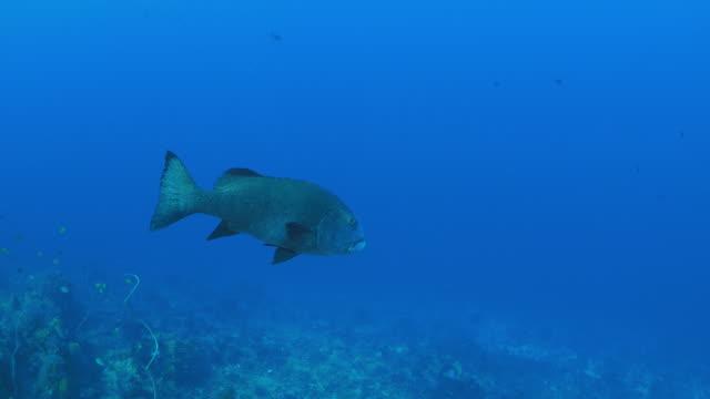 giant sweetlips fish swimming in coral reef (4k) - sweetlips stock videos & royalty-free footage