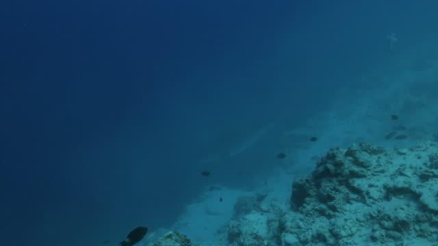 vídeos de stock, filmes e b-roll de cruzeiro gigante do tubarão do tigre no penhasco do mar profundo - passear sem destino