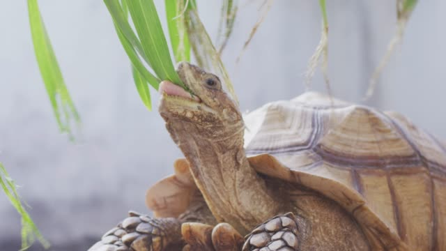 4k giant tortoise bites leaves - chewing stock videos & royalty-free footage