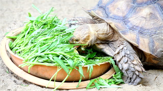 Giant tortoise eating vegetable