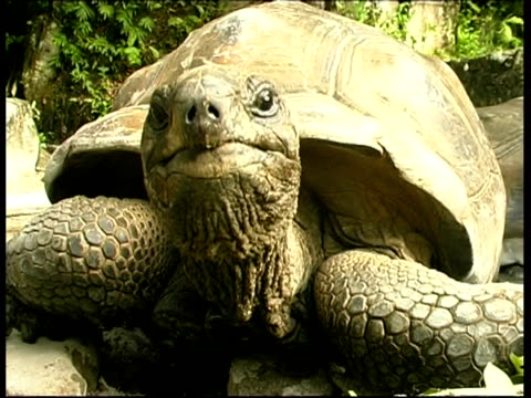 cu giant tortoise looking to camera, seychelles - tortoise stock videos & royalty-free footage