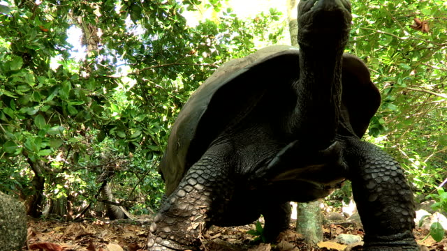 A giant tortoise lumbers over the forest floor.