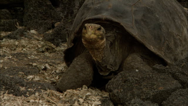 a giant tortoise slowly adjusts its position. - tortoise stock videos & royalty-free footage