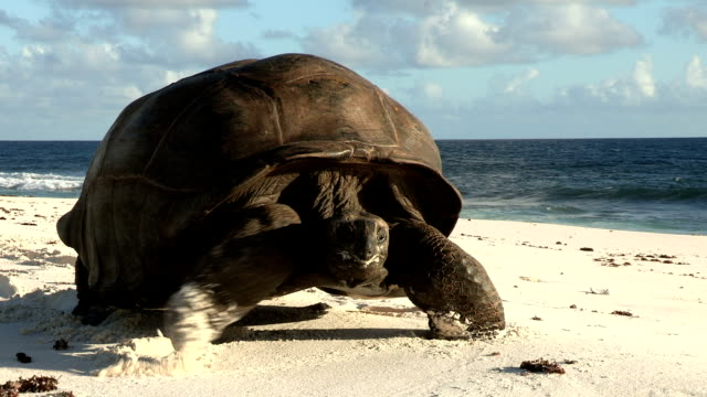 a giant tortoise slowly creeps along a beach. - tortoise stock videos & royalty-free footage