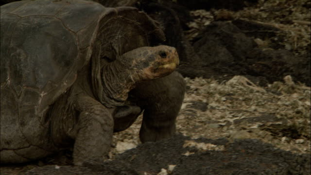 a giant tortoise slowly walks over rocky ground. - galapagosinseln stock-videos und b-roll-filmmaterial