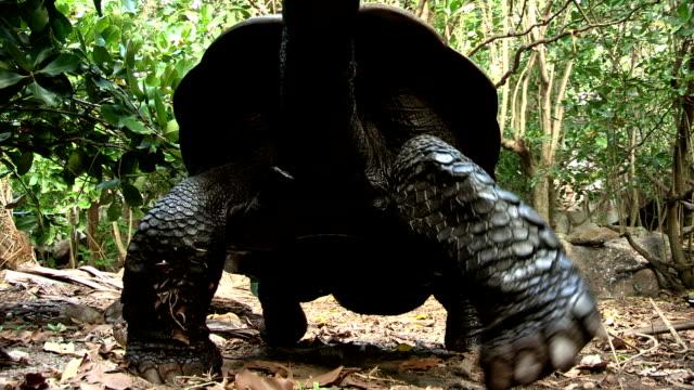 A giant tortoise slowly walks over the forest floor.