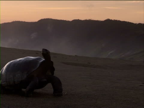 A giant tortoise stands on Alcedo Volcano in the Galapagos Islands.