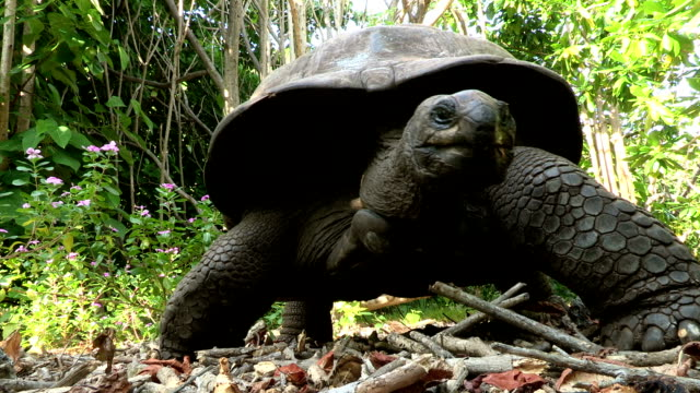 a giant tortoise walks over leaves and sticks on the forest floor. - tortoise stock videos & royalty-free footage
