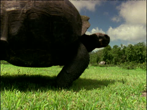 Giant tortoise walks past, Galapagos Islands