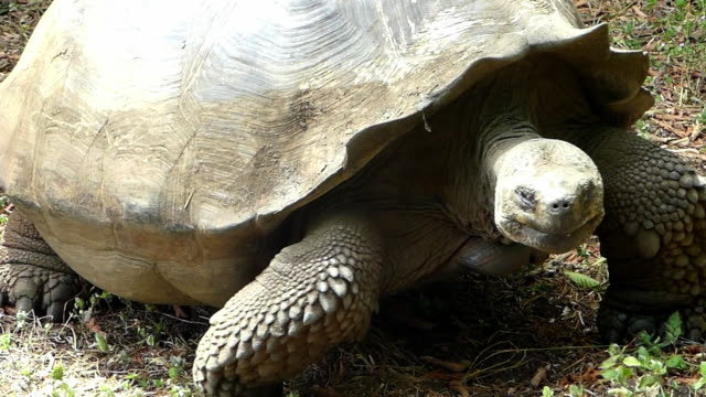 giant tortoises in a park in galapagos - galapagosinseln stock-videos und b-roll-filmmaterial