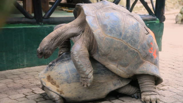 giant tortoises mating on paving - tortoise stock videos & royalty-free footage